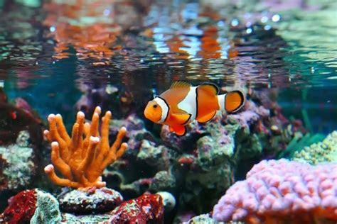 pez payaso caracteristicas alimentacion habitat