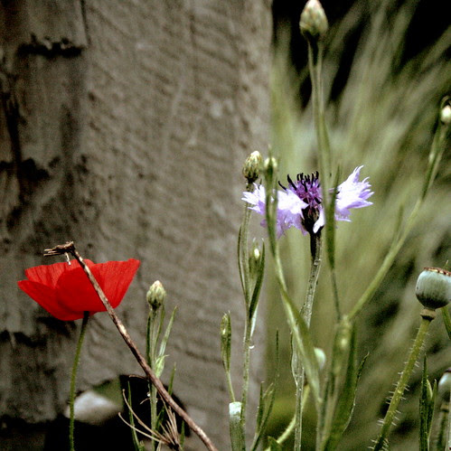 """""""She loves blood red poppies......"""""""