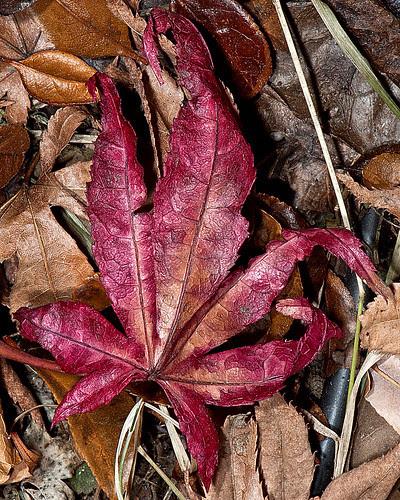 japanese maple leaf burn. japanese maple leaf burn.