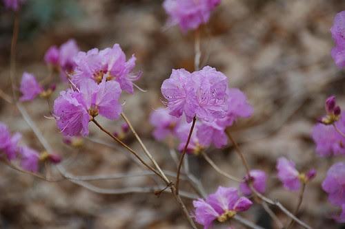 Rhododendron mucronulatum var. ciliatum