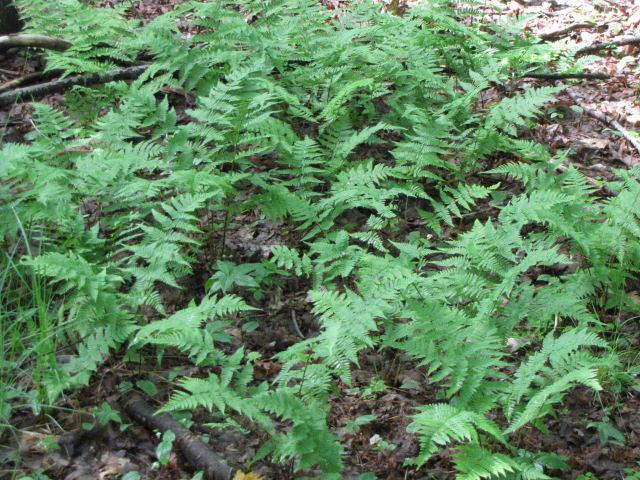 Spinulose Wood Fern