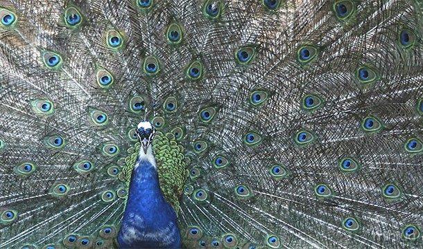 As penas do pavão são realmente marrom. É a sua estrutura microscópica (pigmentação estrutural) que faz com que eles refletem tantas cores como o vermelho, azul e verde