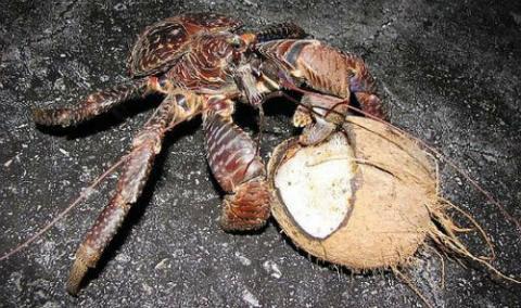 Hình ảnh con cua đang bóc lớp vỏ ngoài một quả dừa tại đảo Christmas (Australia) phía Đông Bắc của Ấn Độ Dương. Hòn đảo này là nơi có cua dừa sinh sống nhiều nhất trong tự nhiên.
