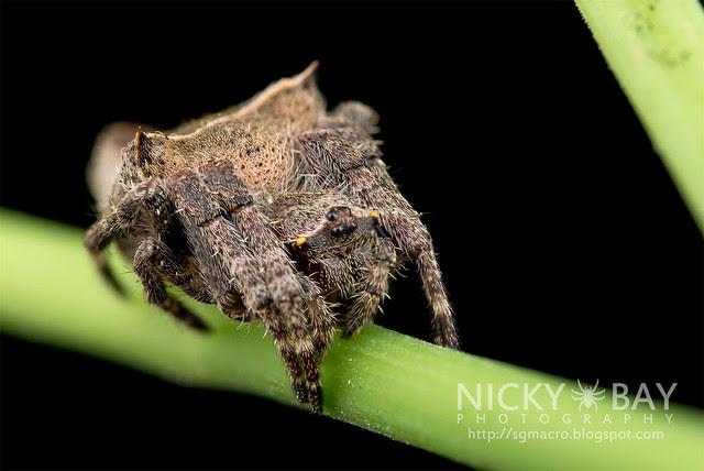 Garden Spider (Parawixia sp.) - DSC_9705