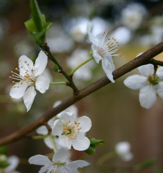 white blooms 2