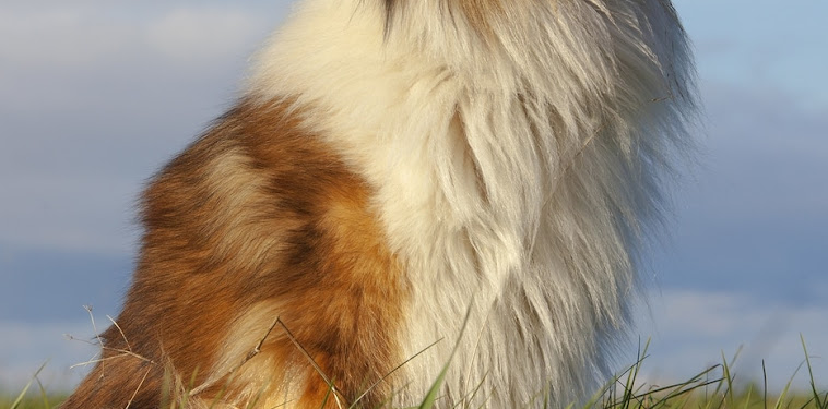 Rough Collie Dog Breed
