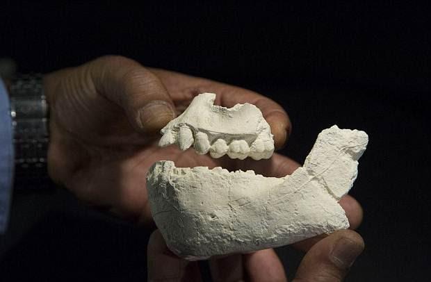 La dentadura de los fósiles permite suponer cómo era la alimentación de los ancestros.