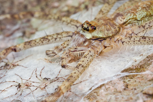 Lichen huntsman with her spiderlings...IMG_2146 copy