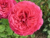 Rose Johann Wolfgang von Goethe