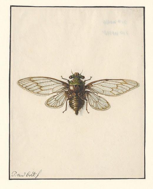 Cicade - Fidicina acuta