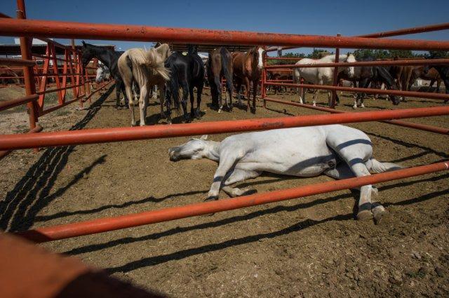 horse down in pen area
