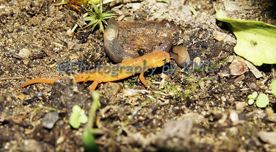 an orange salamander under the leaves