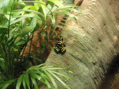poison dart frog (1)