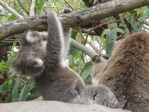 Bebê coala ao lado da mãe em uma das árvores do Parque Nacional Cape Otway (Foto: Flávia Mantovani/G1)
