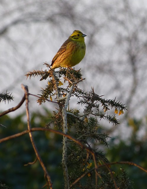 25806 - Yellowhammer, Bryn-bach-Common