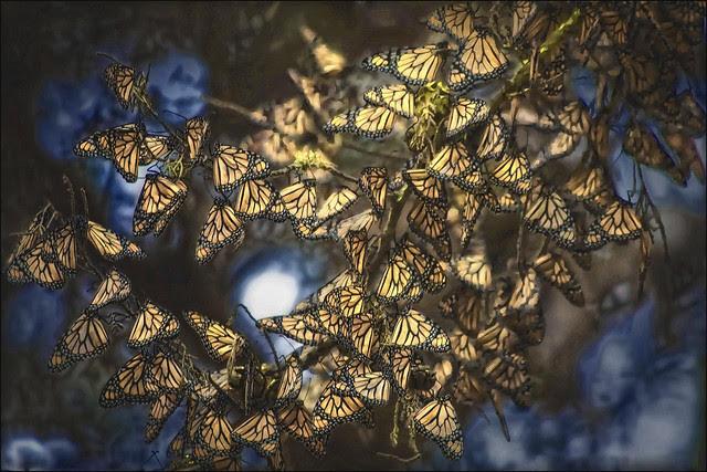 Perierga.gr - Η μετανάστευση της πεταλούδας