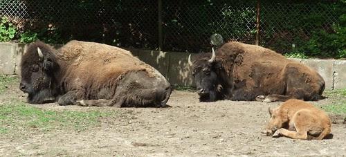 high park bison