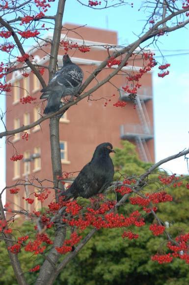 pigeons-with-berries.jpg