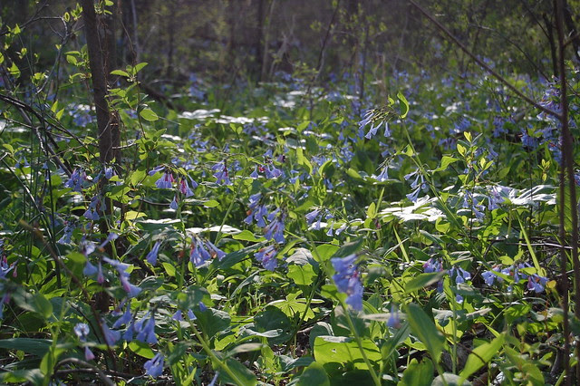 More blue bells!