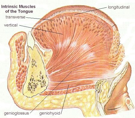 Intrinsic muscles of tongue | HUMAN MUSCULAR SYSTEM