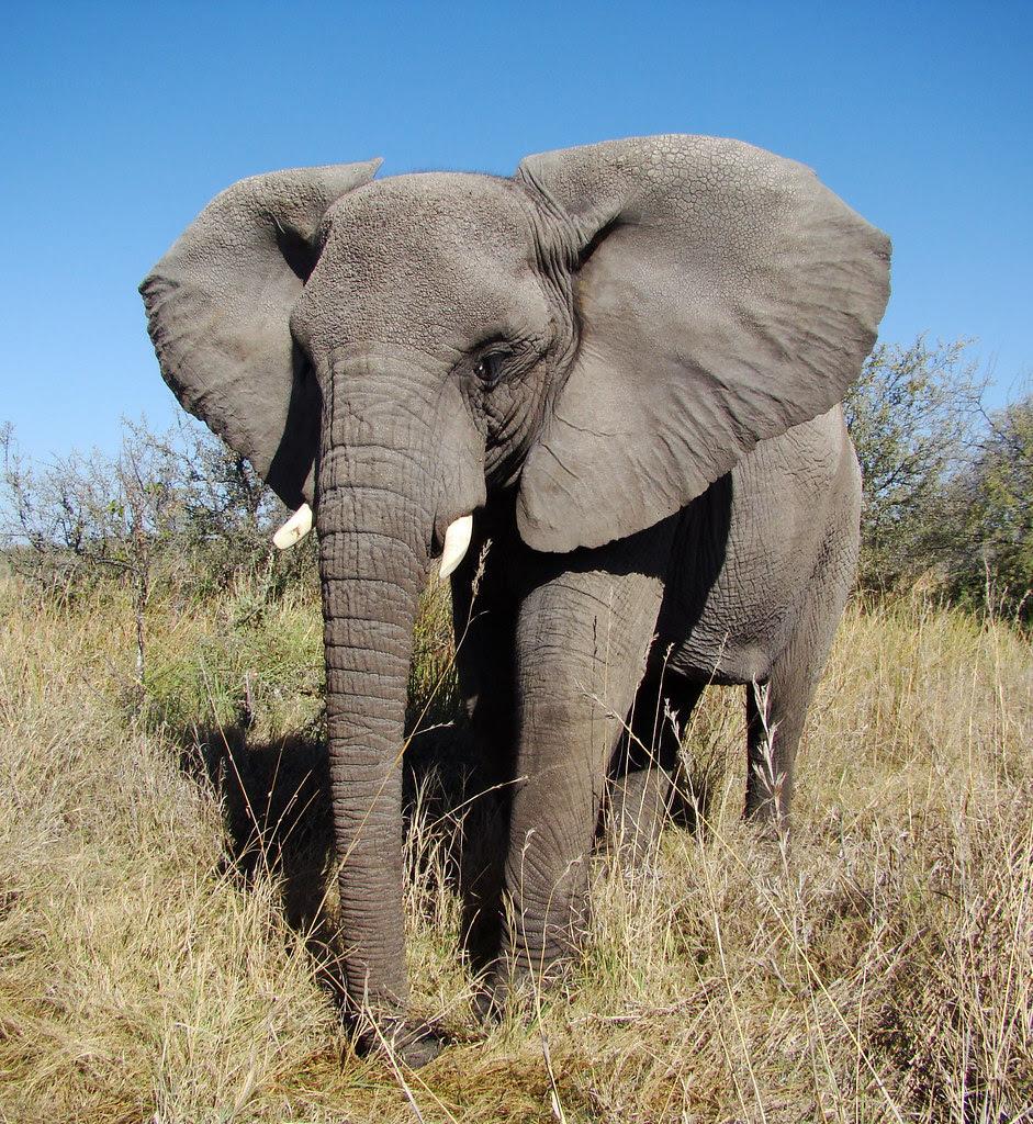 DSC08097 Elephant posing