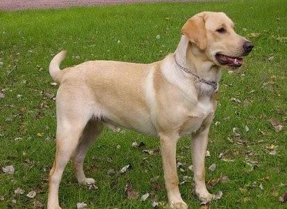 333120 As 10 raças de cães mais inteligentes 7 As 10 raças de cães mais inteligentes