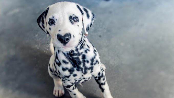 Wiley, el perrito con nariz en forma de corazón