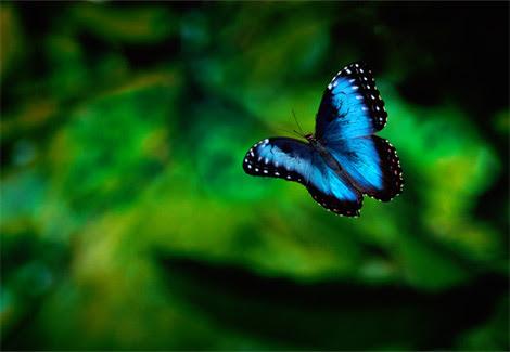 Mariposa Morpho Azul Mariposapedia