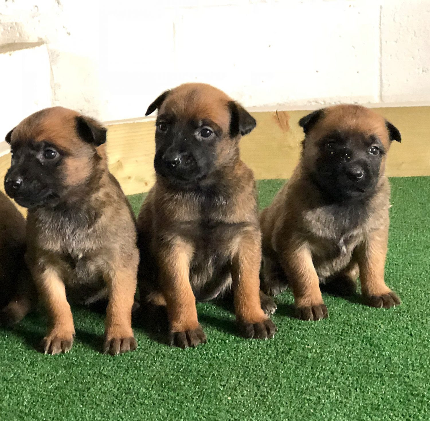 View Ad: Belgian Malinois Puppy For Sale In Poland