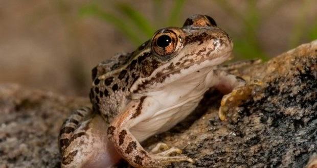 Curiosidades de la rana de la madera, ¿congelación en invierno?