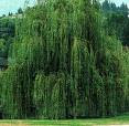 Not All Trees Are Willow Trees