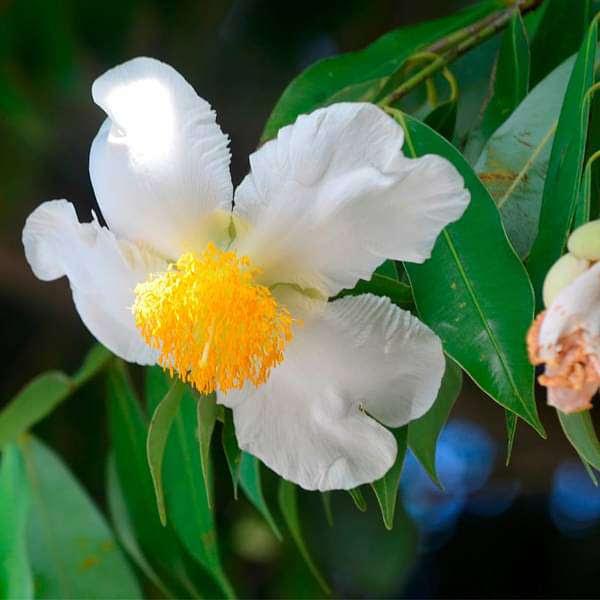 Buy Flower Of Tripura Nagkesar Plant Online From Nurserylive At Lowest Price