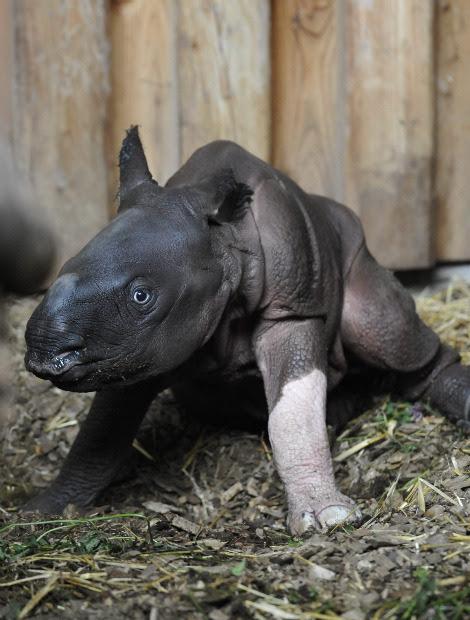 Baby rhino henna white leg zoo basel 1a