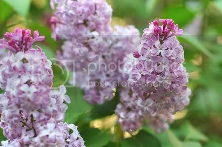 lilac bush Pictures, Images and Photos