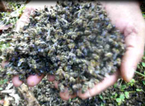 Apicultores suspeitam que abelhas tenham sido envenenadas (Foto: Reprodução EPTV)