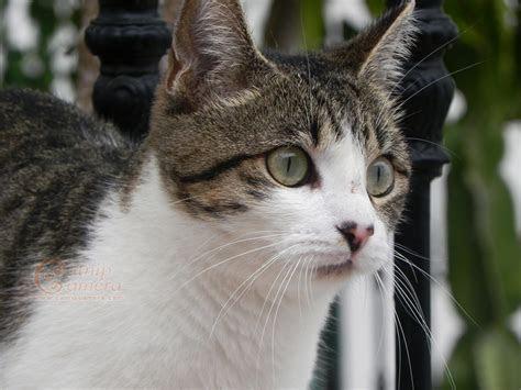 Tabby & White Cat   Catnip Camera