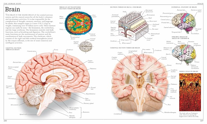 Infographic :The Human Body ( Brain)