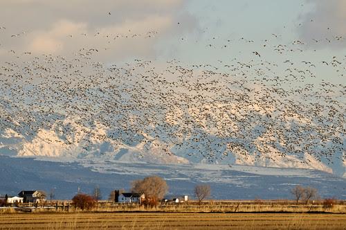 Snow Geese por Robinsegg (southbound)