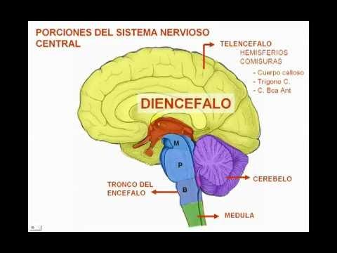 La Anatomía Humana: Encéfalo y Diencéfalo