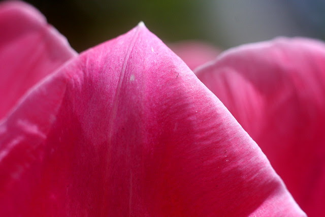 tulips (pink)