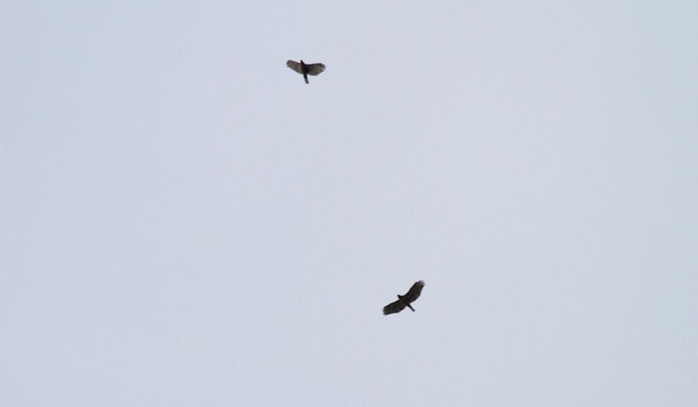 Dorado Hawks