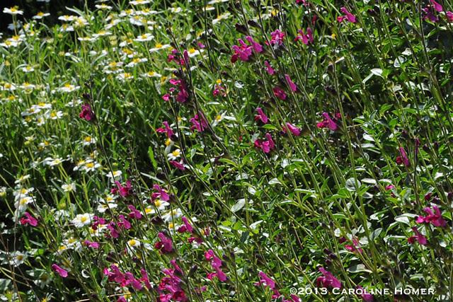 salvia and daisies