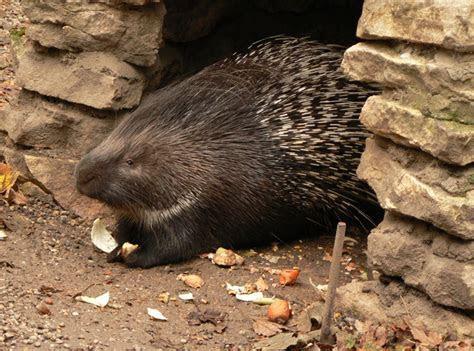 Porcupine   The Biggest Animals Kingdom
