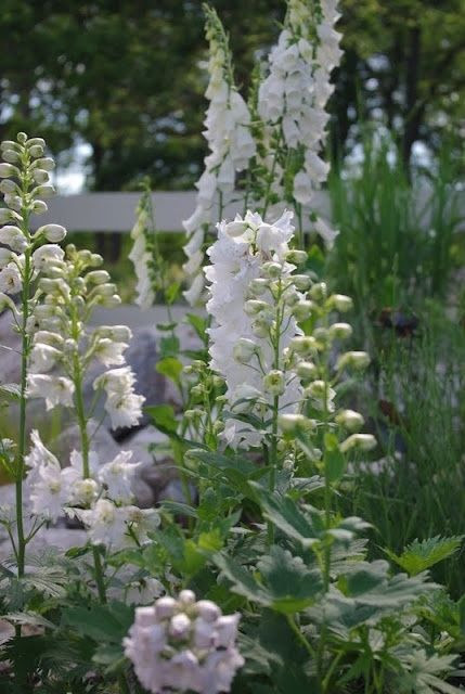 The white garden.....love the Foxglove!!!!
