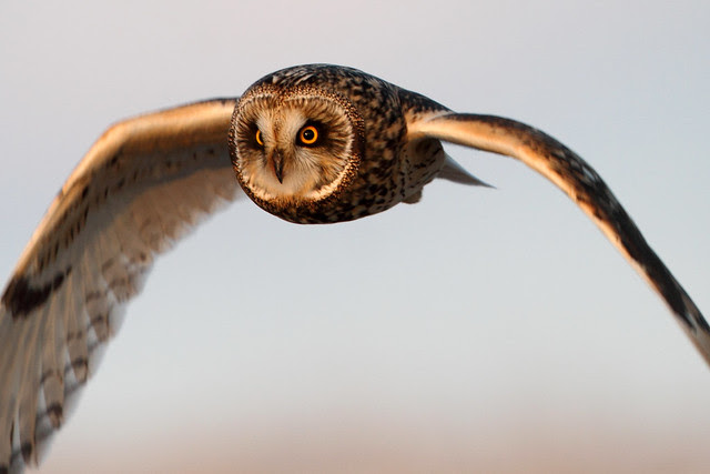 Short-eared Owl by Steve Gifford