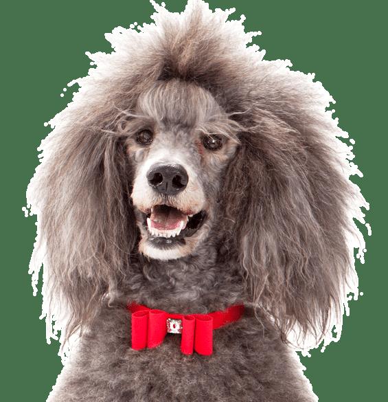 Miniature French Poodle Lifespan All Miniature