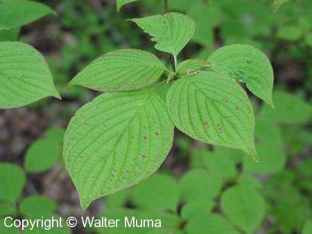 Alternate Leaved Dogwood Cornus Alternifolia Ontario Trees And