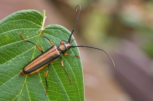 longhorn beetle IMG_8590 copy