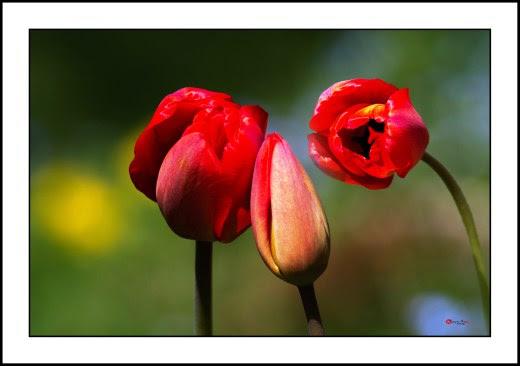 004 Tulip