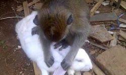 Cerita Hewan Lucu : Fabel Monyet dan Kelinci